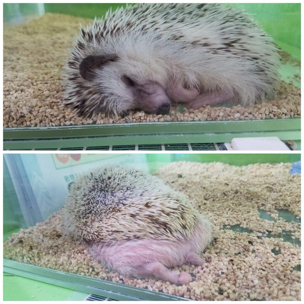 いけもふ ハリネズミ 睡眠