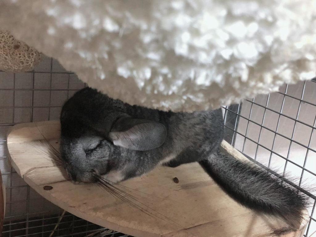 チンチラ 寝顔
